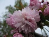 Japanskkirsebær
