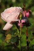 Rose; Queen of Sweeden ?