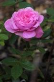 Rose; The Mayflower