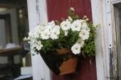 Petunia i vægkrukke