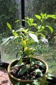 Toftegaards Hot Banana, Cap. annuum