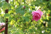 Rose; Constance Spry