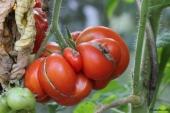 Tomat; Voyage