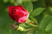 Rose; Flammentanz