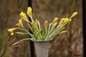 Afskårne Påskeliljer