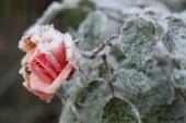 Frost på rose