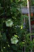 Klokkeranker i blomst