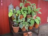 Hosta på plantetrappe