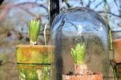 Hyacint med og uden glasklokke