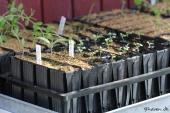 Diverse frøsået blomster i Rootrainers