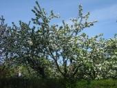 Naboens æbletræ i blomst