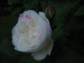 Rose; Winchester Cathedral