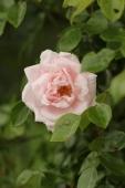 Rose; Dr. W. Van Fleet