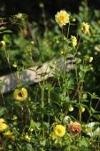 Frøformeret Dahlia