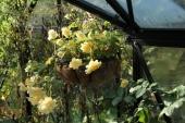 Hængebegonie; Belleconia Chardonnay