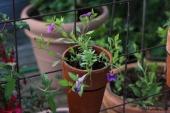 Petunia; Superbell Royal Blue