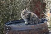 Katten på whiskytønde