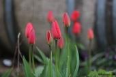 Alm. Tulipaner