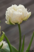 Crispa tulipan - Snow Crystal