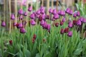 Negrita tulipaner