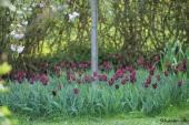 Negrita tulipaner og Japansk Kirsebær