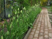 Tulipaner ved havesti