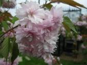 Japanskkirsebær i blomst