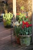 Tulipaner i krukker